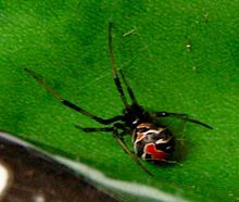 Redbacks are considered one of the most dangerous species of spider in Australia.[2] The redback spider has a neurotoxic venom that is toxic to humans with bites causing severe pain, often for over 24 hours. An antivenom is commercially available, and since its introduction in 1956 there have been no deaths due to Redback bites.