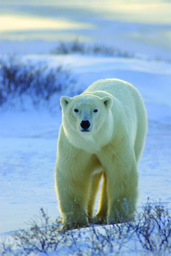 Polar Bears - Churchill, Manitoba, Canada. Over 1,000 polar bears gather outside Churchill in late October before hibernating. Also good chance of seeing Northern Lights. Summer is also good time to go.