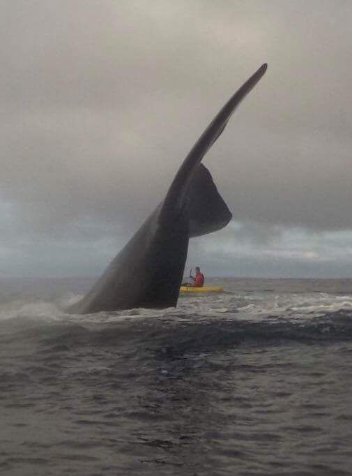 @Seasaver Jun 6 Southern right whale off Surf Bay, Falkland Islands Bill Chater @Cheds23 (505×682)