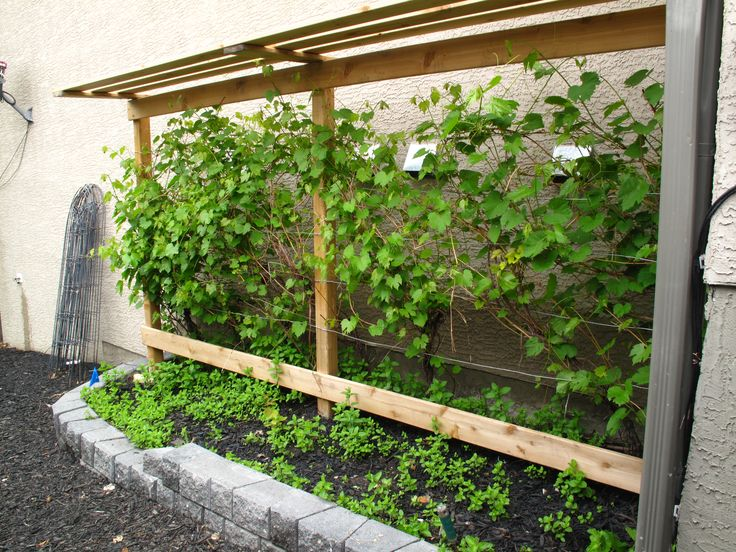 Grow your own grapes in Alberta with a grape vine trellis