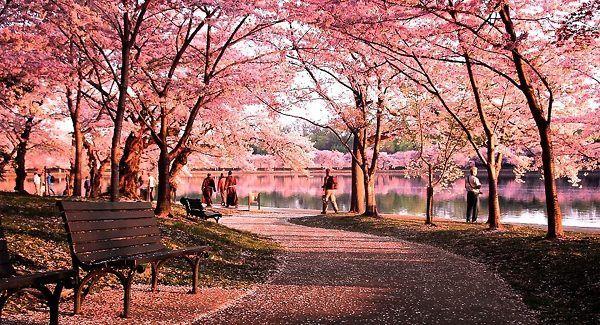 Okame Cherry Blossom Tree Cherry Blossom Festival Blossom Trees Cherry Blossom Tree