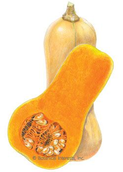 100 days. Winter squash gives you the perfect reason to look forward to winter! The rich, sweet flavor of butternut is incomparably delectable, with a flavor similar to that of pumpkin. Delicious roasted, baked, or made into soup. 4 to 5 fruits per plant; solid stems resist boring insects. Stores for months!
