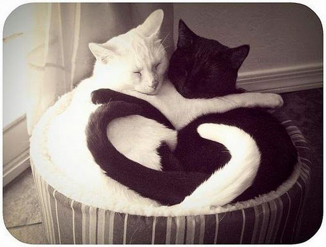 One black and one white cat curled together making a heart with their tails.