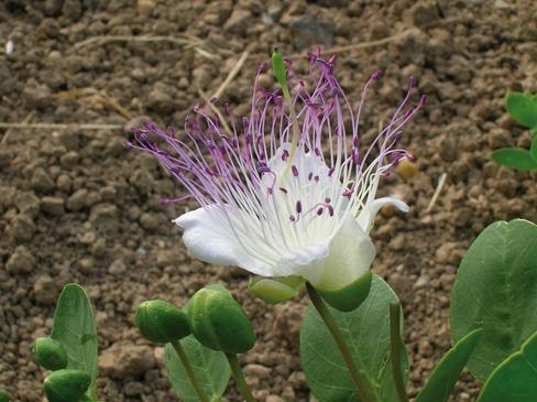 Il cappero Selargino, in fiore - Sardegna