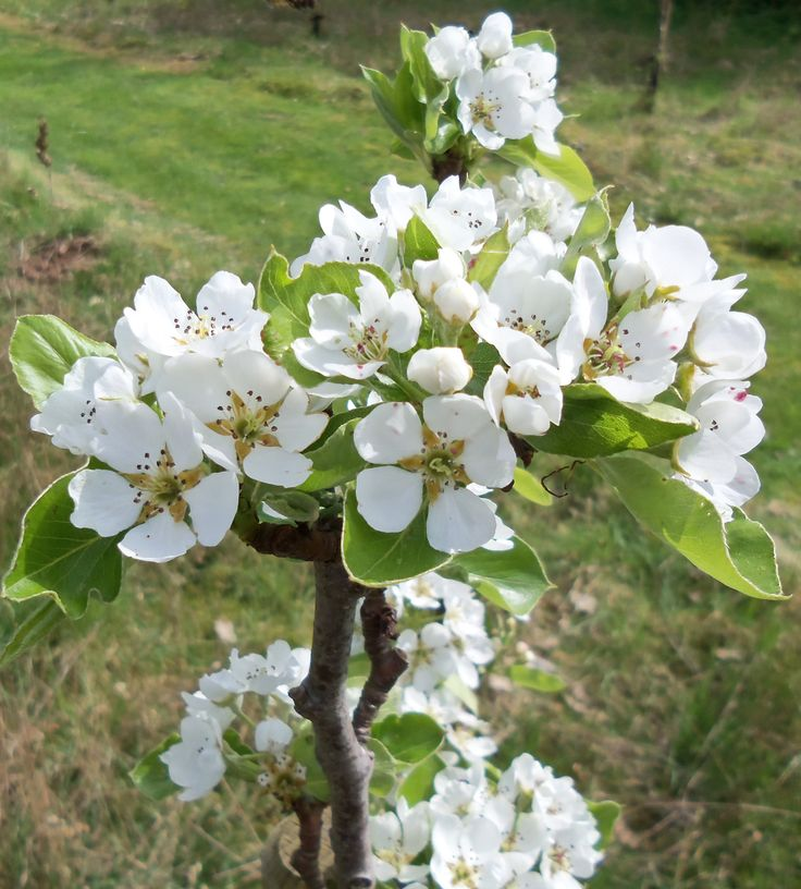 Blossom on the fruit trees