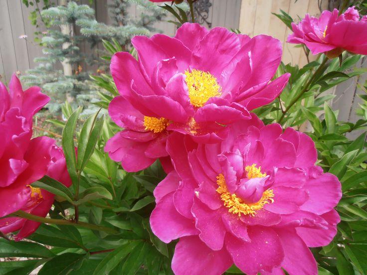 Peony - med. pink rose-like flowers