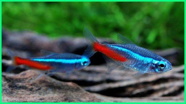 12 Ikan Aquascape Terindah Yang Bisa Kamu Pilih Aquascaping Ikan