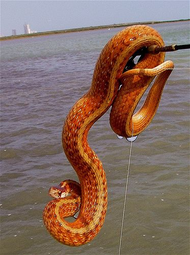 Texas Brown Snake- I can't believe they pulled this thing out of the water. O.o