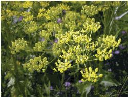 Wild Parsnip - Photo credit: Frank Knight for New York State Department of Environmental Conservation