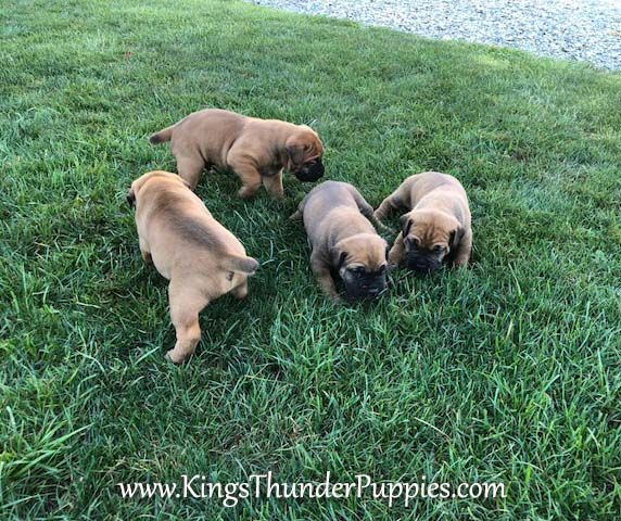 King S Thunder Puppies Sells African Boerboel Puppies In Lancaster Pa African Boerboel Puppies Are Confident Calm And Will African Boerboel Puppies Boerboel