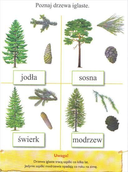 plansze dydaktyczne - drzewa iglaste.JPG