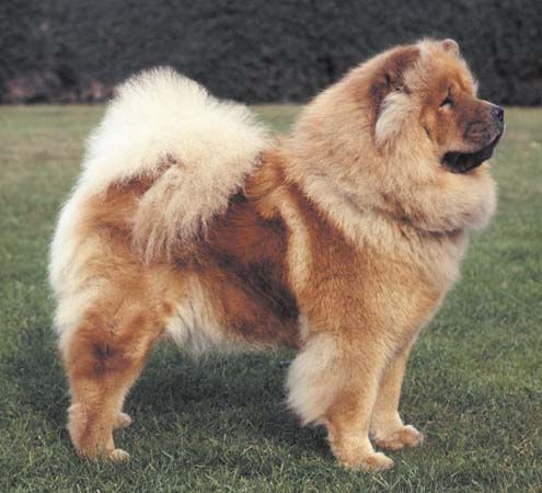 A chow chow similar to this one once owned me for a bit over 11 years. My chow…