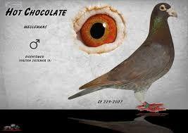 """Képtalálat a következőre: """"karel meulemans pigeons for sale"""""""