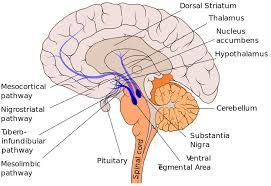 Image result for ventral tegmental area