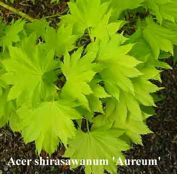 """Acer shirawasanum 'Aureum' """"Golden Full Moon Maple"""" A spectacular tree, especially in bright when the bright yellow foliage emerges. The leaves gradually become a yellow green in summer. Direct hot sun can cause the leaves to scorch, best in filtered light or morning sun only. Autumn colours are a blend of oranges and red. A multi-branched tree, slow growing."""