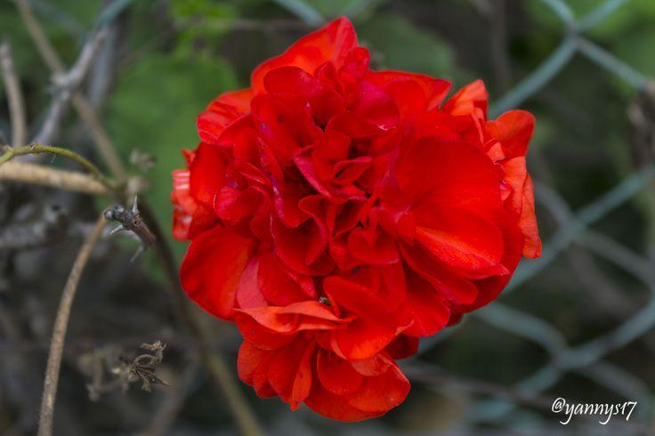 True Beauty. Red Carnation