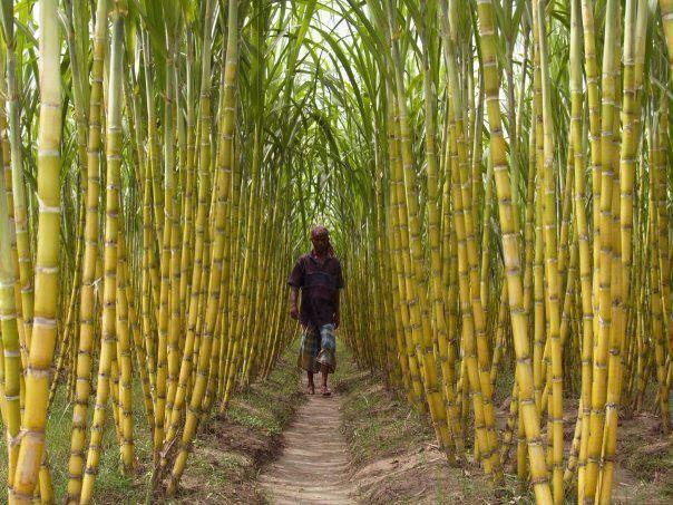 Sugarcane in Surinam