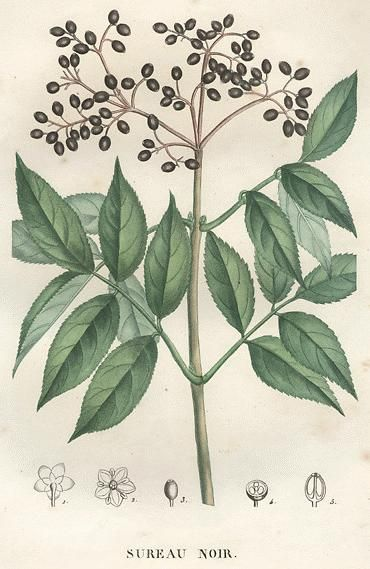 Elderberry: (Sambucus nigra) is a herb that has a long history of use as a folk remedy for colds, sinus infections and the flu. In preliminary lab studies, elderberry extracts have been found to fight off viruses. (from About.com) #naturalremedies Image: http://botanical.com/botanical/mgmh/e/elder-04a-l.jpg