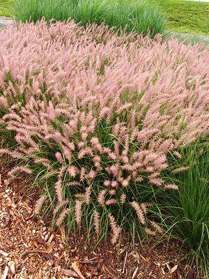 Oriental fountain grass: Fountain Grass Pretty, Fountain Grass Want, Oriental Fountain, Oriental Grasses, Flowers Gardening Patio