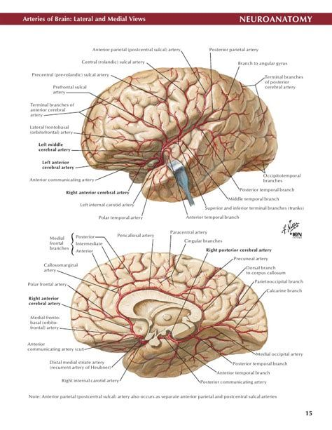 Netter Neuro Atlas Anatomy Mnemonics Pinterest Med School