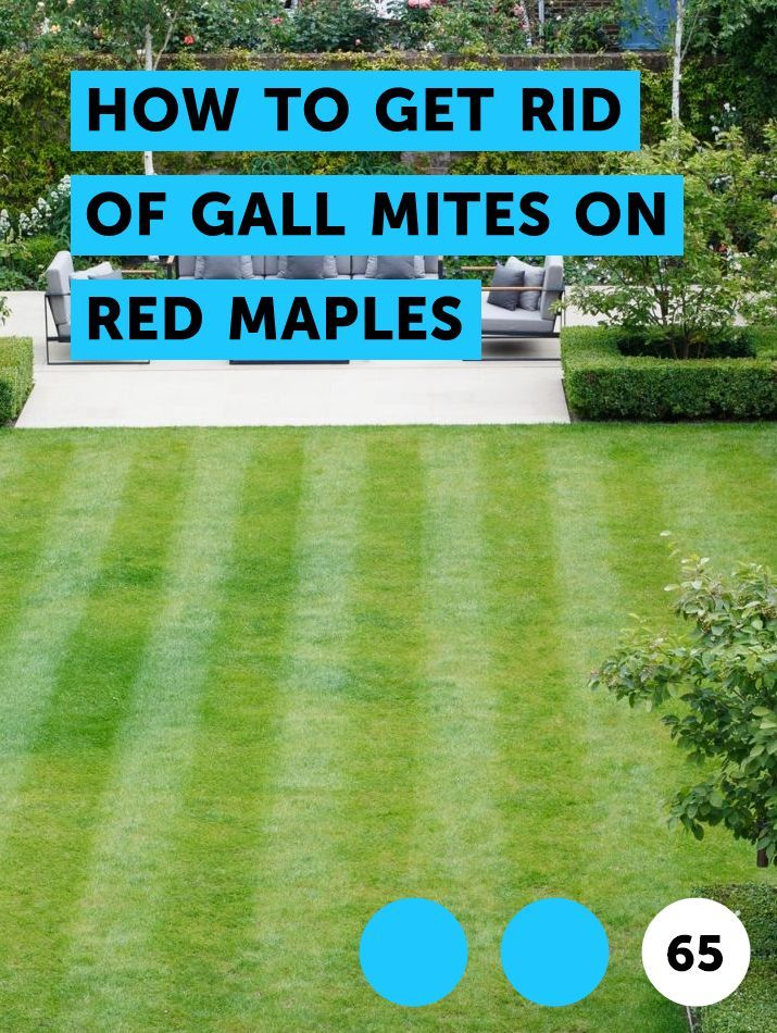 How To Get Rid Of Gall Mites On Red Maples Fig Tree Florida Flowers Fig