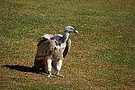 Buitre leonado - Gyps fulvus