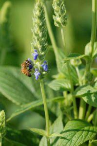 Semi di Chia: un prodotto naturale prezioso non soltanto per la tua salute...ma anche per la tua bellezza! http://www.viverezen.org/alimentazione/semi-di-chia/come-usare-i-semi-di-chia