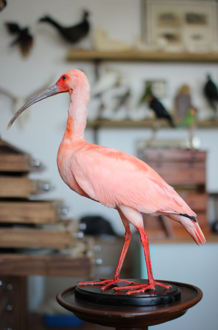 Taxidermy Scarlet Ibis. Mandibles, Cape Town