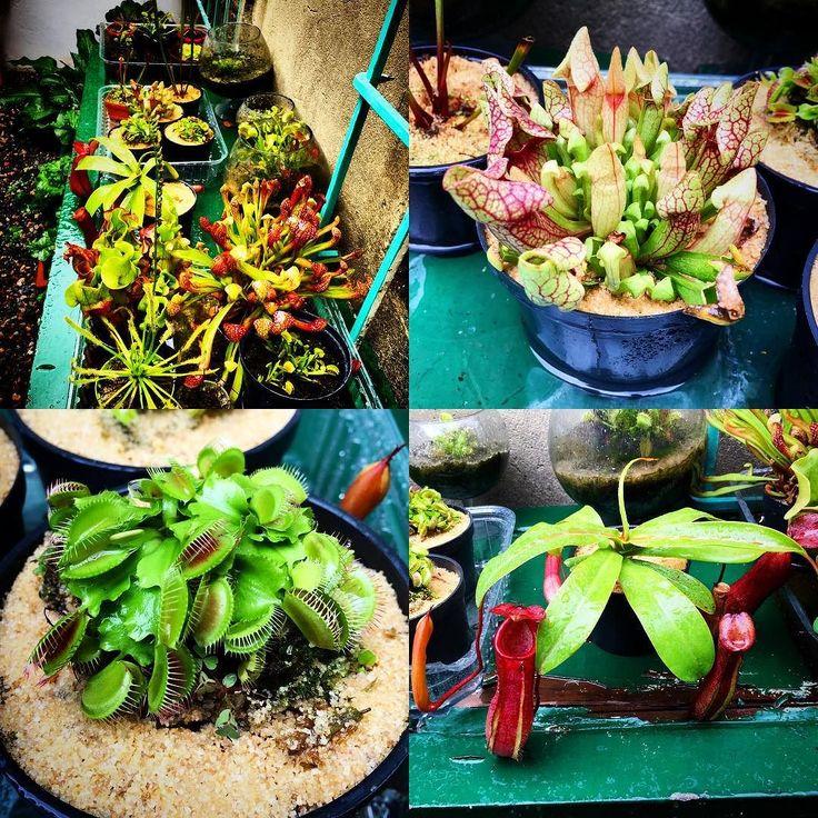 Nuestra colección de plantas carnívoras!! Ya que varias personas han preguntado por ella tendremos algunas para la venta! Venus atrapamoscas sarracenea purpúrea y Nepenthes cada una a $35.000. Viene con una guía de cuidados! #Varietale #café #colombia #bogota #barista #carnivorous #venusflytrap #sarracenia #nephentes by varietale
