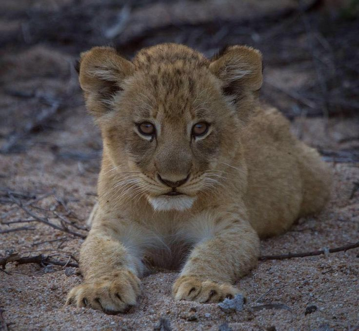 Cuteness Overload! A young Tsalala Lion cub photographed at @londolozi Private Game Reserve in Sabi Sands South Africa . Photo credit @callumgowar