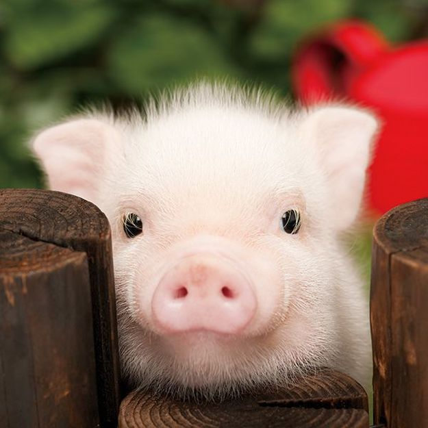 best 25 teacup piglets ideas on pinterest baby piglets teacup pig and baby teacup pigs. Black Bedroom Furniture Sets. Home Design Ideas
