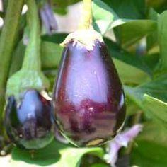 Cultiver des aubergines au potager bio