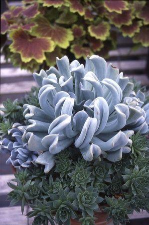 Echeveria 'Topsy Turvy' with Sempervivum 'Oddity.' | Flores, Plantas e Jardinagem | Pinterest | Succulents, Families and Chang'e 3