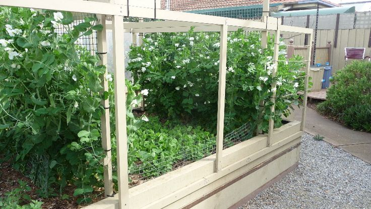 September 2015......Ecobed 4 is growing peas and beans.  They are in flower and setting seed pods after growing steadily through our mild winter.  They came into flower at just the right time. http://joharthash.blogspot.com.au/p/growing-peas.html