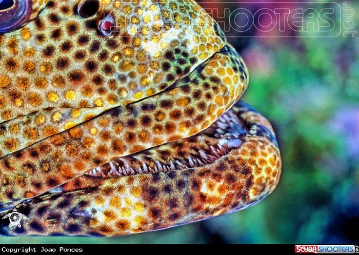 Honeycombed Grouper in Vadhoo Island - Maldives
