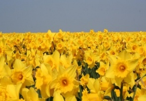 I grew up across the road from a field of daffodils like this one. I would go and lay down amongst them and just love the smell.  <3