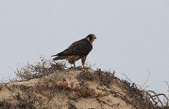 Falco [peregrinus or pelegrinoides] - Avibase