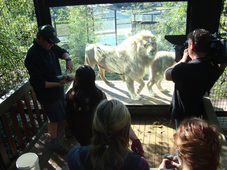You looking at me? White lions. Canberra zoo. #humanbrochure