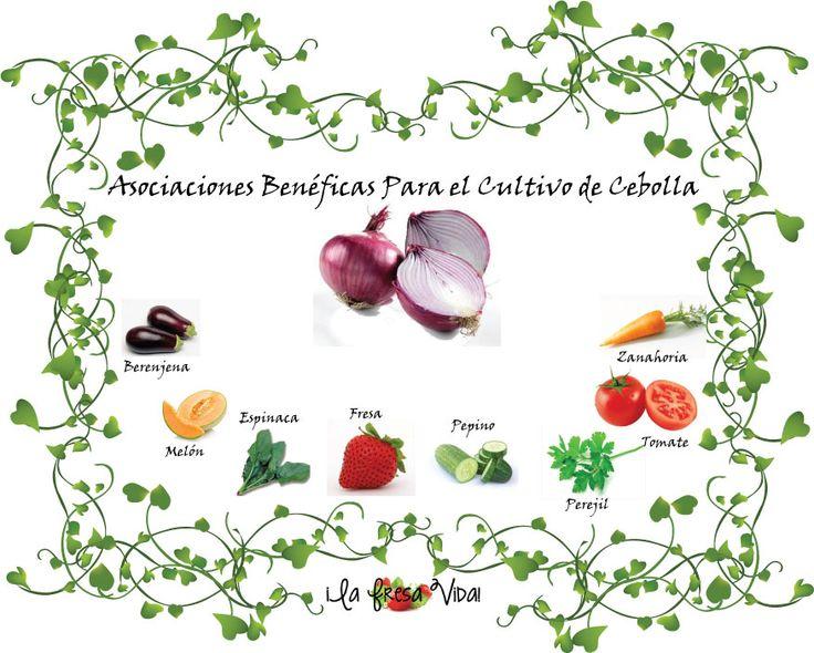 17 mejores ideas sobre cultivo de cebollas en pinterest Asociaciones de cultivos favorables