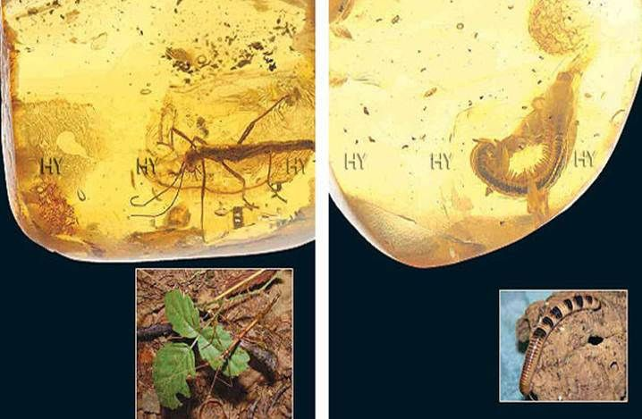 Çomak Böceği ve Kırkayak http://dusuneninsanlaricin.com/evrimi-yikan-33-amber-fosili/