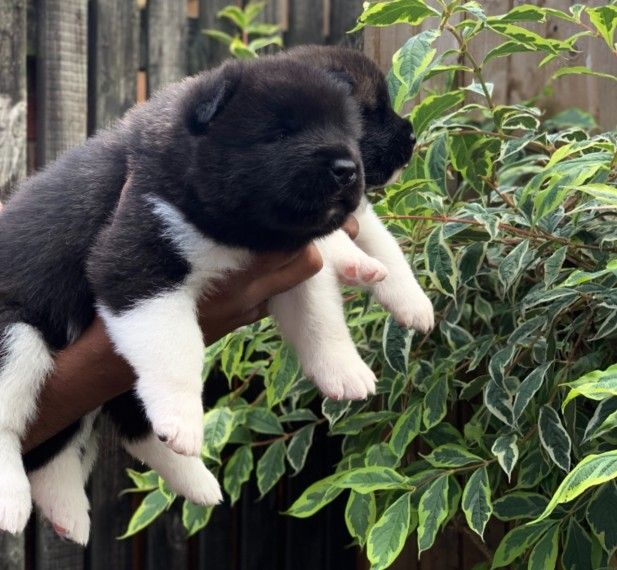 Pin On Akita For Sale