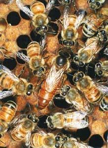 Queen Bees & Nuks for sale -Moffat Ontario Just North of MIlton
