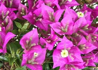 Bougainvillea-Busch im 17 cm Topf  #bellaflora #plants #pflanzen #topfpflanzen #bougainvillea