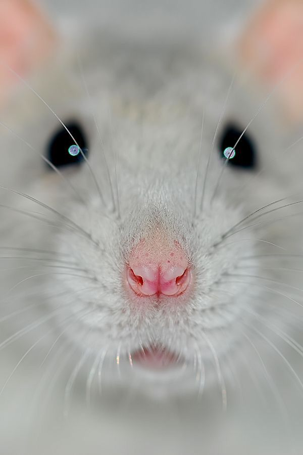 This may be a rat, but look at that adorable pink nose.........