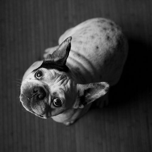 BŁAGAM FOTOKLIMAT . KONCEPTUALNA Fotografia 50x50cm, limitowana edycja 30 sygnowanych egzemplarzy. Na zdjęciu Buli, 10-letni buldożek francuski.