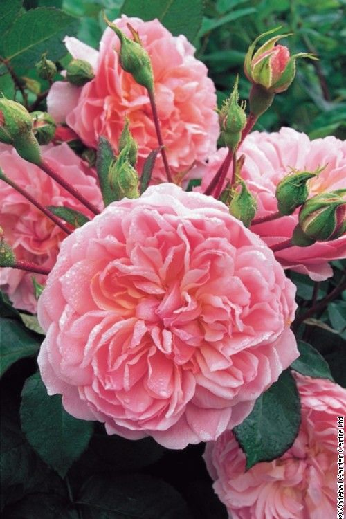 ANNE BOLEYN - David Austin English Rose. Lovely small shrub for the front of a mixed border or in a pot