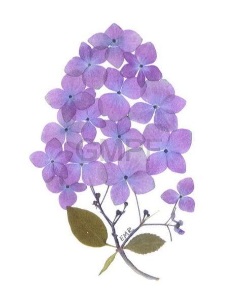 Original pressed flower art with hydrangeas from my garden! Order online at www.vtpressedflowers.com