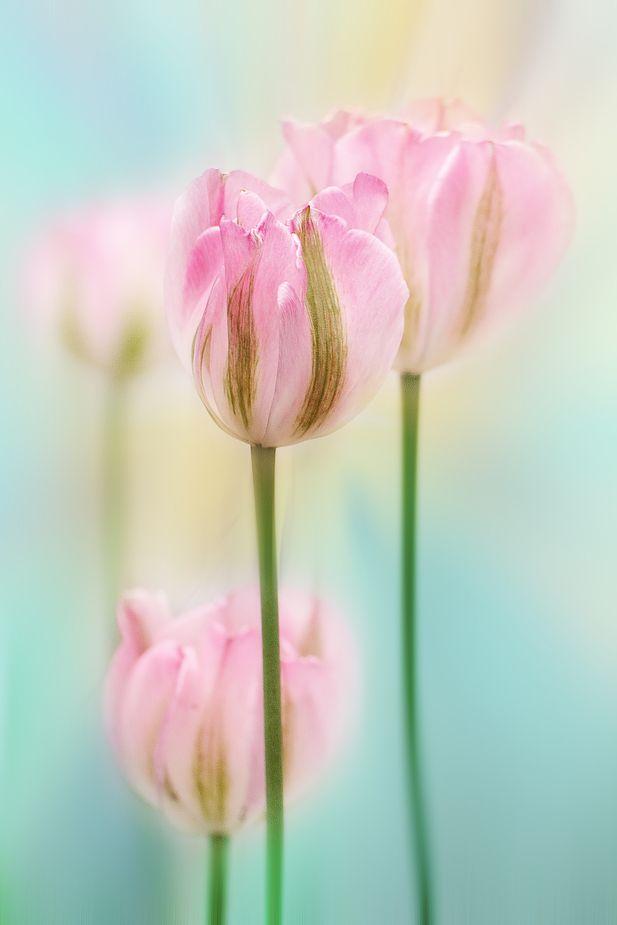 ber ideen zu rosa tulpen auf pinterest tulpe rote tulpen und lila tulpen. Black Bedroom Furniture Sets. Home Design Ideas
