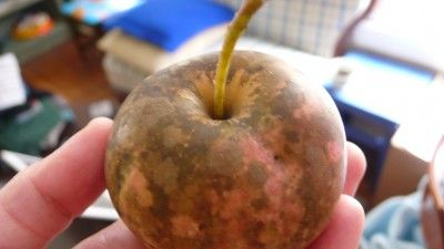 Information On Common Diseases Of Apple Trees -  Apple trees are one of the most popular fruit trees in the home garden, but among the most prone to disease and problems. This article will help with common issues so you can better manage them.