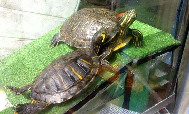 Tortugas acuáticas, más cuidados - http://www.depeces.com/tortugas-acuaticas-mas-cuidados.html